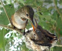 watch baby hummingbirds hatch grow on live webcam mnn mother