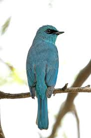 Verditer Blue Birds Birds Category The President Of India