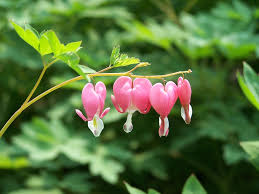 Bleeding Hearts Flowers Free Photo Garden Plants Pink Nature Flowers Bleeding Hearts Max