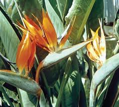 bird of paradise flower bird of paradise flower plant britannica