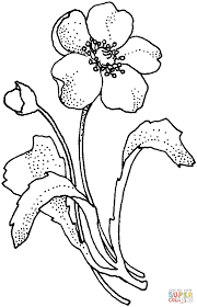papaveraceae poppy flower coloring page free printable coloring
