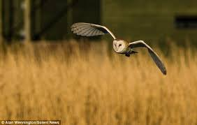 Barn Owl Sounds The Owl Is U0027king Of Stealth U0027 Thanks To Its Sound Absorbing