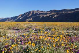 anza borrego super bloom where to see wildflowers spring 2017 via magazine