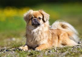 american eskimo dog short hair tibetan spaniel dog breed information pictures characteristics