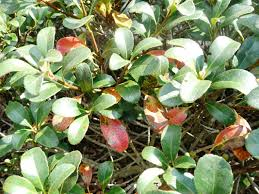 leaf disease showing up on indian hawthorne other woody ornamental