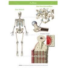 Anatomy Of The Human Skeleton Skeleton Illustrations Medical Illustrations Of The Skeletal