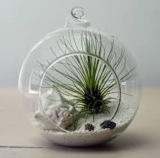 hanging air plant terrarium in small orb with tillandsia filifolia