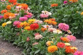 zinnias flowers how to start a cutting garden mnn nature network