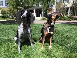 bluetick coonhound owners w 7 july catalina bluetick coonhound and olive mix breed chris