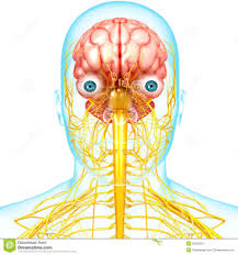 Nervous System Human Anatomy Anatomy Of The Brain In The Nervous System Human Anatomy Library