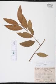Fragrant Plants Florida - damburneya coriacea species page isb atlas of florida plants