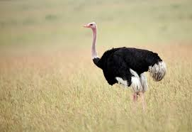 ostrich facts the world u0027s largest bird