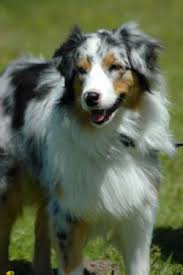 images of australian shepherd australian shepherd breed information u0026 pictures aussie