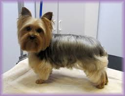 yorkie haircuts pictures only maybe just shorter under the chin bone s hair style options