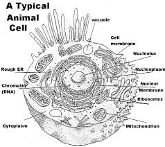 animal cell structure black and white