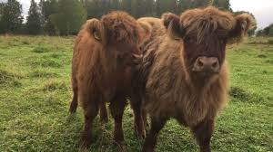 scottish highland cattle in finland fluffy calves mooing moo moo