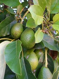 aguacate avocado p americana avocado seed avocado tree and