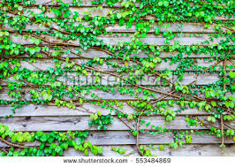 wooden leaves wall abstract green leaves vine on wooden stock photo 553484869