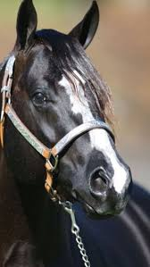 Black Mustang Horse Pictures 81 Best Mustang Horses Images On Pinterest Horses Mustang
