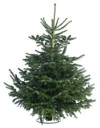 balsam fir christmas tree nordmann fir christmas trees delivered