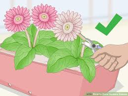 gerbera plant how to grow gerbera daisies with pictures wikihow
