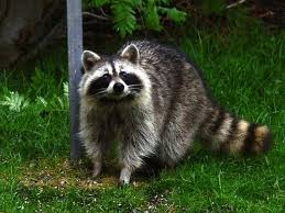 Is it legal to own a pet raccoon in washington state updated