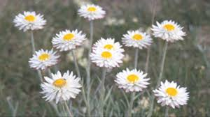 tasmanian native plants plant story conserving grassland paper daisy in tasmania kew