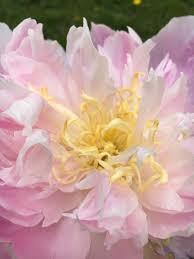 Pink Peonies Nursery Full Bloom Farm