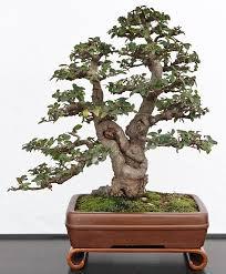107 best bonsai images on pinterest bonsai trees bonsai art and