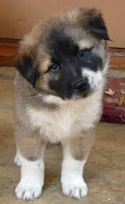 australian shepherd x puppies for sale akita shepherd akita x german shepherd mix temperament puppies