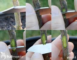 scion plant grafting citrus trees how to bud graft successfully