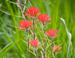 indian paintbrush flower indian paintbrush mdc discover nature