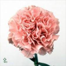 wholesale carnations 24 best carnations images on beauty products gadget