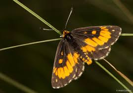 for one of south africa s most endangered butterflies