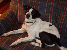 afghan hound collie mix beagle pointer mix we have no idea poodle forum standard
