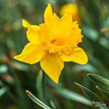 Ideas For Daffodil Varieties Design Planting Charts For Spring Flowering Bulbs