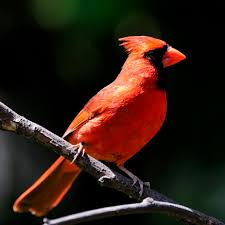 Florida birds images Northern cardinal florida eco travel guide jpg