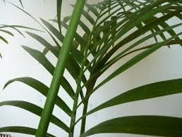 white majesty palm most houseplants costa farms to tremendous size