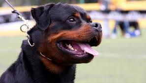 american pitbull terrier vs german shepherd would a rottweiler win in a fight with two german shepherds
