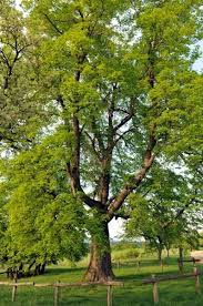 17 best linden trees images on nurseries copper and