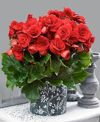buy house plants now indoor begonia u0027baladin u0027 bakker com