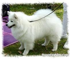 american eskimo dog washington state american eskimo