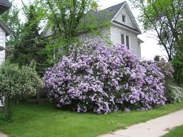 lilacs pictures you look someone has a lilac tree or a lilac