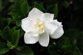 gardenia shift in perception understanding full embrace of