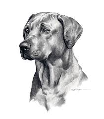beautiful pencil sketch of dog white boxer pencil drawing art