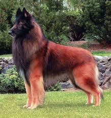 belgian sheepdog nationals what kind of dog is this it u0027s beautiful beautifuldog dogbreeds
