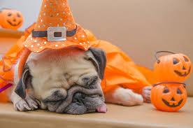 pug dogs sleep pumpkin halloween animals