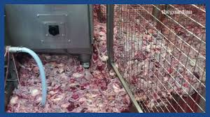 sick chicken the dirty truth about food and the uk u0027s poultry