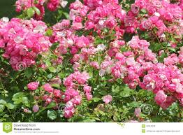 ornamental roses stock photo image 42910219