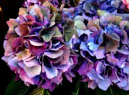 hydrangea flowers flower color in hydrangea any one yet see a true orange or yellow